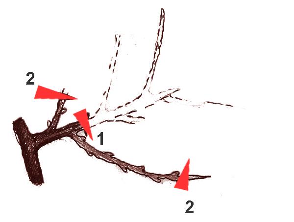 В результате обрезки получилась ветка, на конце которой плодовая лоза и сучок