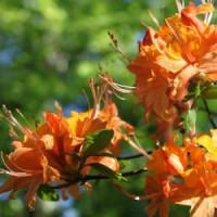 Дкоративно-Лиственные кустарники