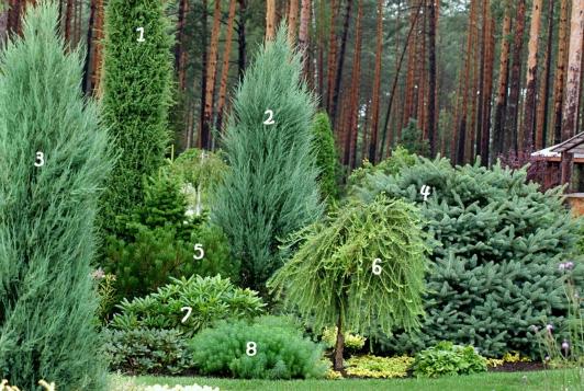 примеры хвойных деревьев