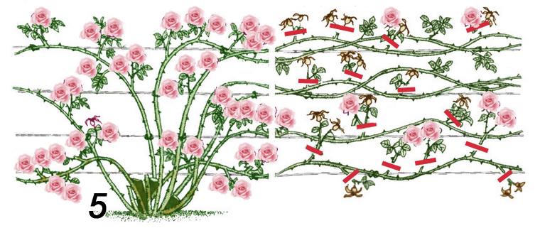 Как обрезать кустовые розы осенью